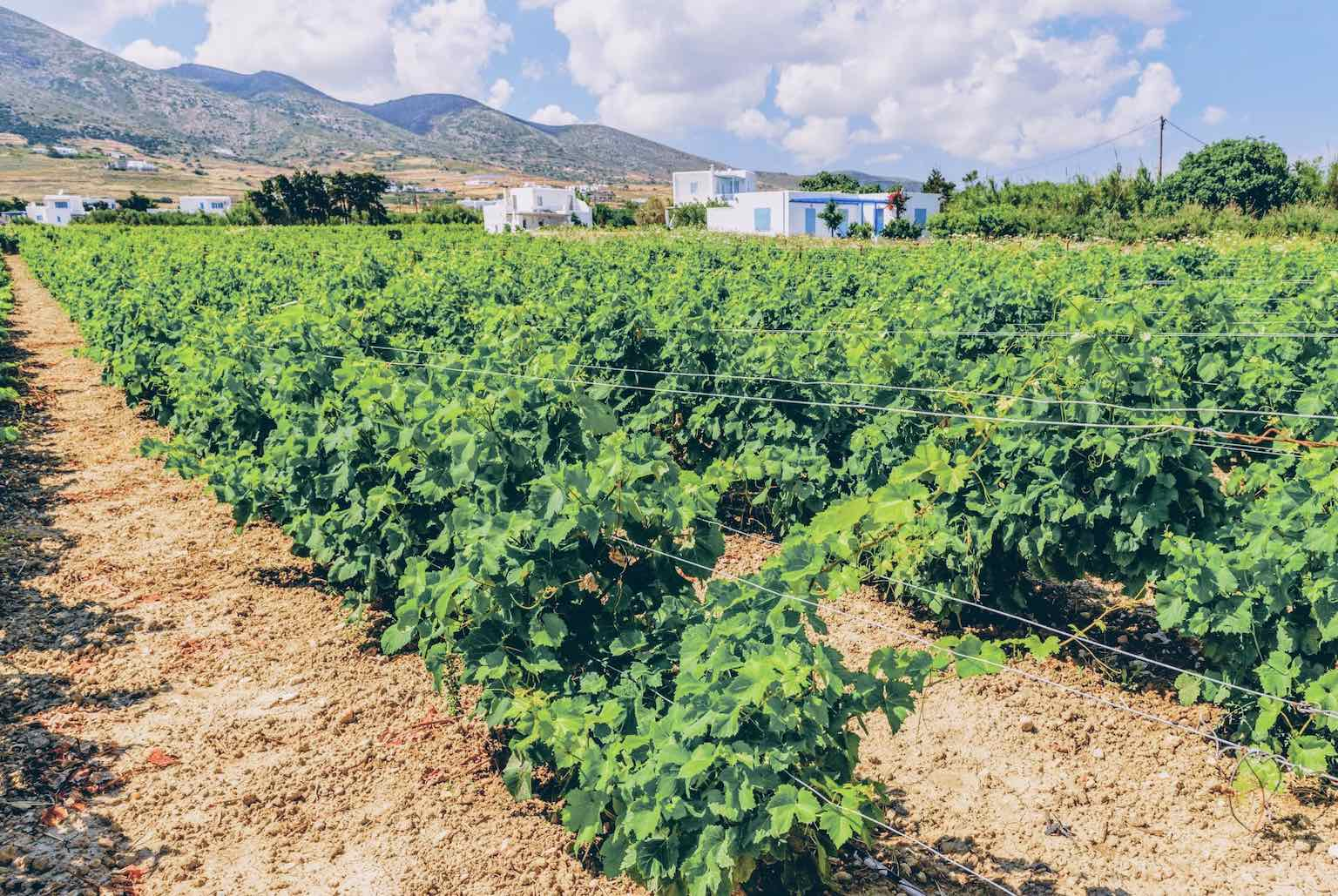 Private tour - A private Vineyard and Wine tour in Paros